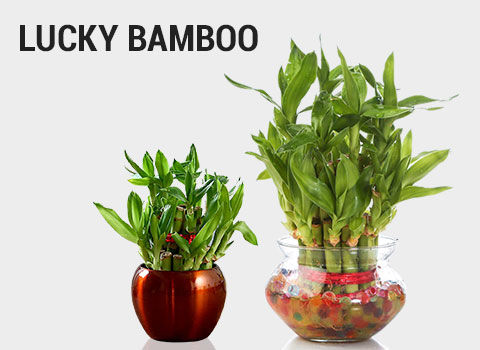 Lucky-Bamboo-mob-17-feb-2019.jpg