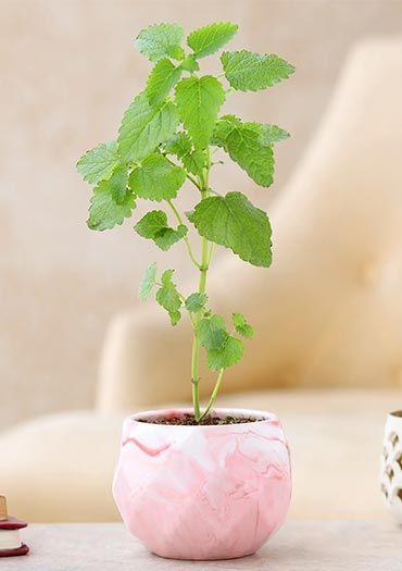 Herbs N Medicinal Plants online