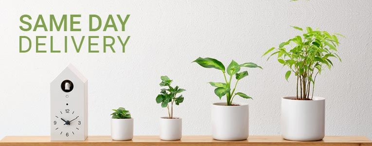 Same Day Plants Delivery