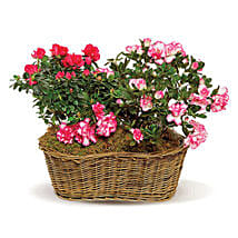 Awesome Azaleas: Flower Delivery in Toronto