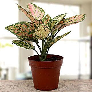 Aglaonema plant: Terrace and Balcony Plants