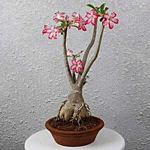 Beautiful Desert Rose Bonsai Plant: Outdoor Plants