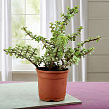 Beautiful Jade Plant: Cactus and Succulents Plants