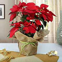 Beautiful Poinsettia Plant: