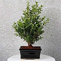 Boxwood Decor Bonsai Plant: Bonsai Plants