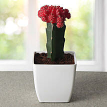 Bring Your Moon Cactus Plant: Flowering Plants
