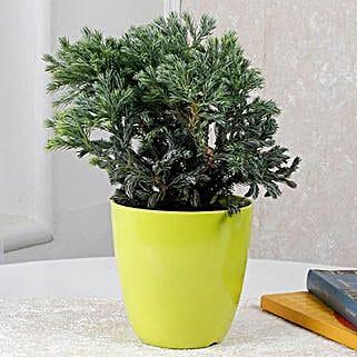 Bushy Juniper Plant: Send Shrubs