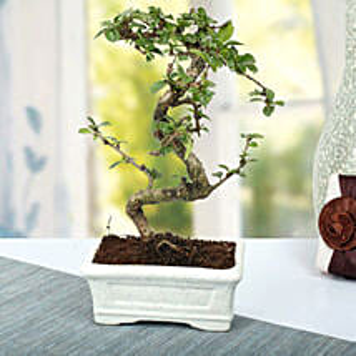 Charming Carmona S Shape Bonsai Plant: Plants to Lucknow
