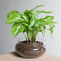 Classic Syngonium Golden Plant Terrarium: Send Plants to Delhi