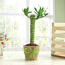 Cut Leaf Bamboo Plant: Send Lucky Bamboo for Birthday