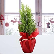 Cyprus Greenery Plant: Send Christmas Gifts For Girlfriend