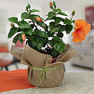 Delightful Hibiscus Plant: Plants to Bengaluru