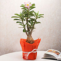 Desert Rose Adenium Plant: Home Decor Anniversary Gifts
