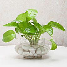 Divine Money Plant Terrarium: Plants to Chennai