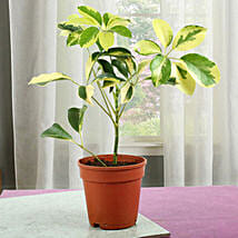 Elegant Schefflera Plant: Send Shrubs