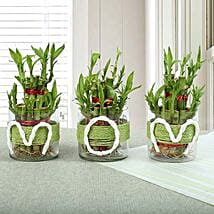 Evergreen Bamboo Plant for Mom: Indoor Plants