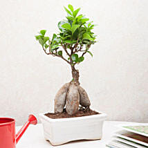 Exotic Ficus Bonsai Plant: Mother's Day Plants
