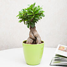 Exotic Ficus Ginseng Bonsai Plant: Gifts for Dussehra