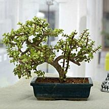Fabulous Jade Bonsai Plant: Outdoor Plants