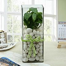 Fashionable Money Plant Terrarium: Terrariums Plants