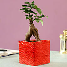 Ficus Bonsai Plant in Red Ceramic Pot: Buy Air Purifying Plants