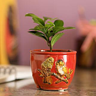 Ficus Compacta In Red Ceramic Pot: Buy Indoor Plants