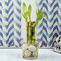 Find Luck With Bamboo plant: Rare Plant Gifts