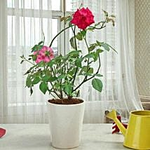 Fragrant Rose Plant: Herbal and Kitchen Plants