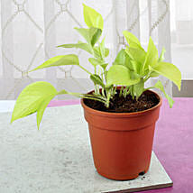 Fresh Money Plant: Outdoor Plants