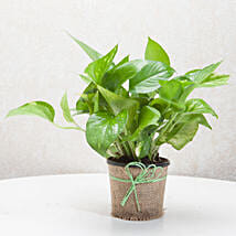 Gift Money Plant for Prosperity: Plants for House Warming