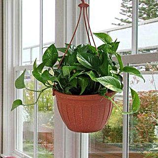 Go Green With Money Plant: Spiritual and Vastu Plants