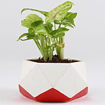 Golden Syngonium In Hexamont Concrete Pot: New Arrived Plants