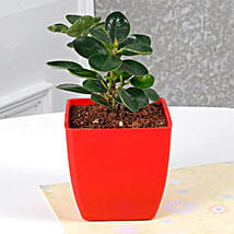 Gorgeous Ficus Compacta Plant: Gifts for Dussehra