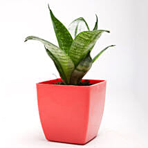 Green Sansevieria Plant in Red Plastic Pot: Good Luck Plants for Diwali