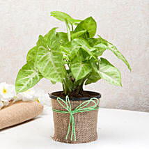 Hue of Green Syngonium Plant: Plants to Chennai