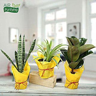 Live Green Trio Plants: Succulents