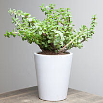Lively Jade Plant: Best Outdoor Plant