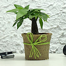 Lucky Money Tree: Ornamental Plants