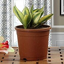 Lush Green Sansevieria Plant: Plants for House Warming