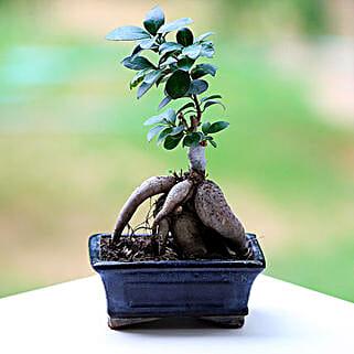 Marvellous Ficus Microcarpa Plant: Bonsai Tree