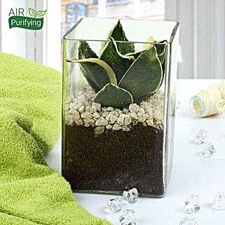 MILT Sansevieria Indoor Plant Terrarium: Air Purifying Plants
