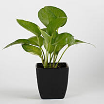 Money Plant in Black Imported Plastic Pot: Good Luck Plants