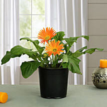 Orange Gerbera Plant: Flowering Plants