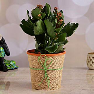 Orange Kalanchoe Plant: Herbs & Medicinal Plants