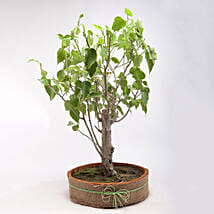 Paras Peepal Bonsai Plant in Terracotta Circular Tray: Bonsai Plants