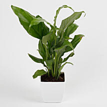 Peace Lily Plant in Imported Plastic Pot: Good Luck Plants
