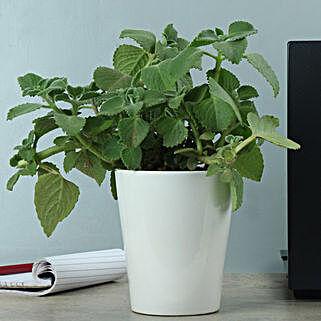 Potted Ajwain Plant: Medicinal Plant