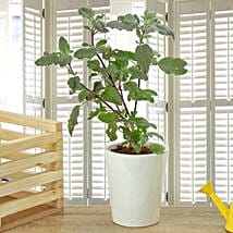 Potted Basil Plant: Good Luck Plants for Anniversary