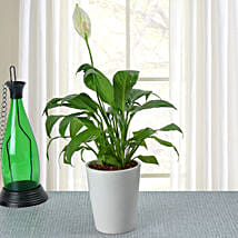 Potted Peace Lily Plant: Air Purifying Plants