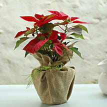 Potted Red Poinsettia Plant: Send Plants to Delhi